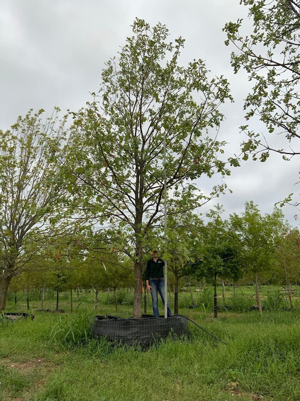 10 inch burr oak trees