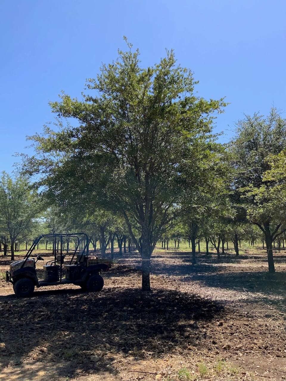 10 inch live oak trees