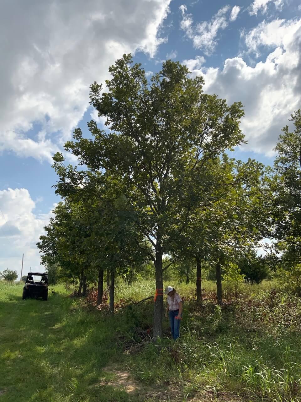 12 inch burr oak trees