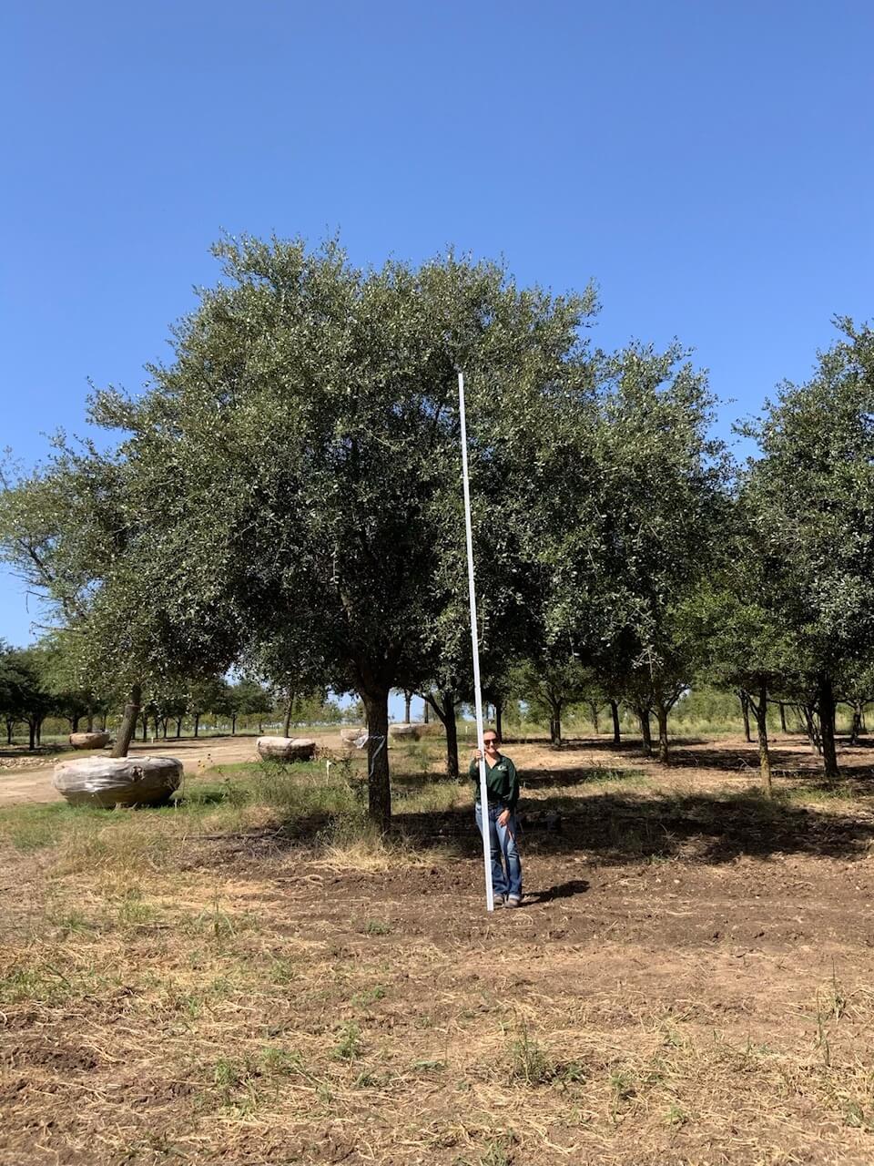 12 inch live oak trees