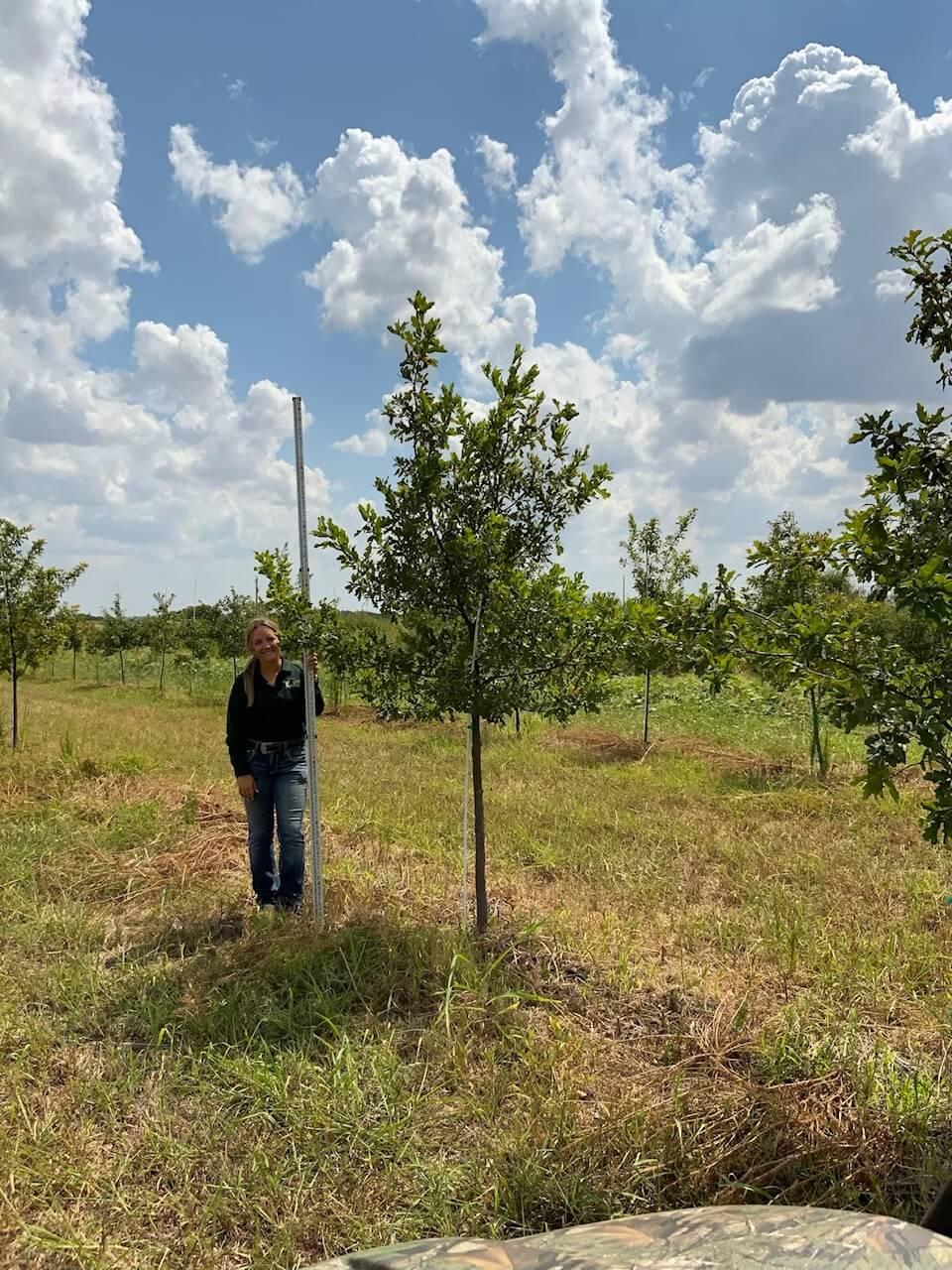 3 inch lacey oak trees