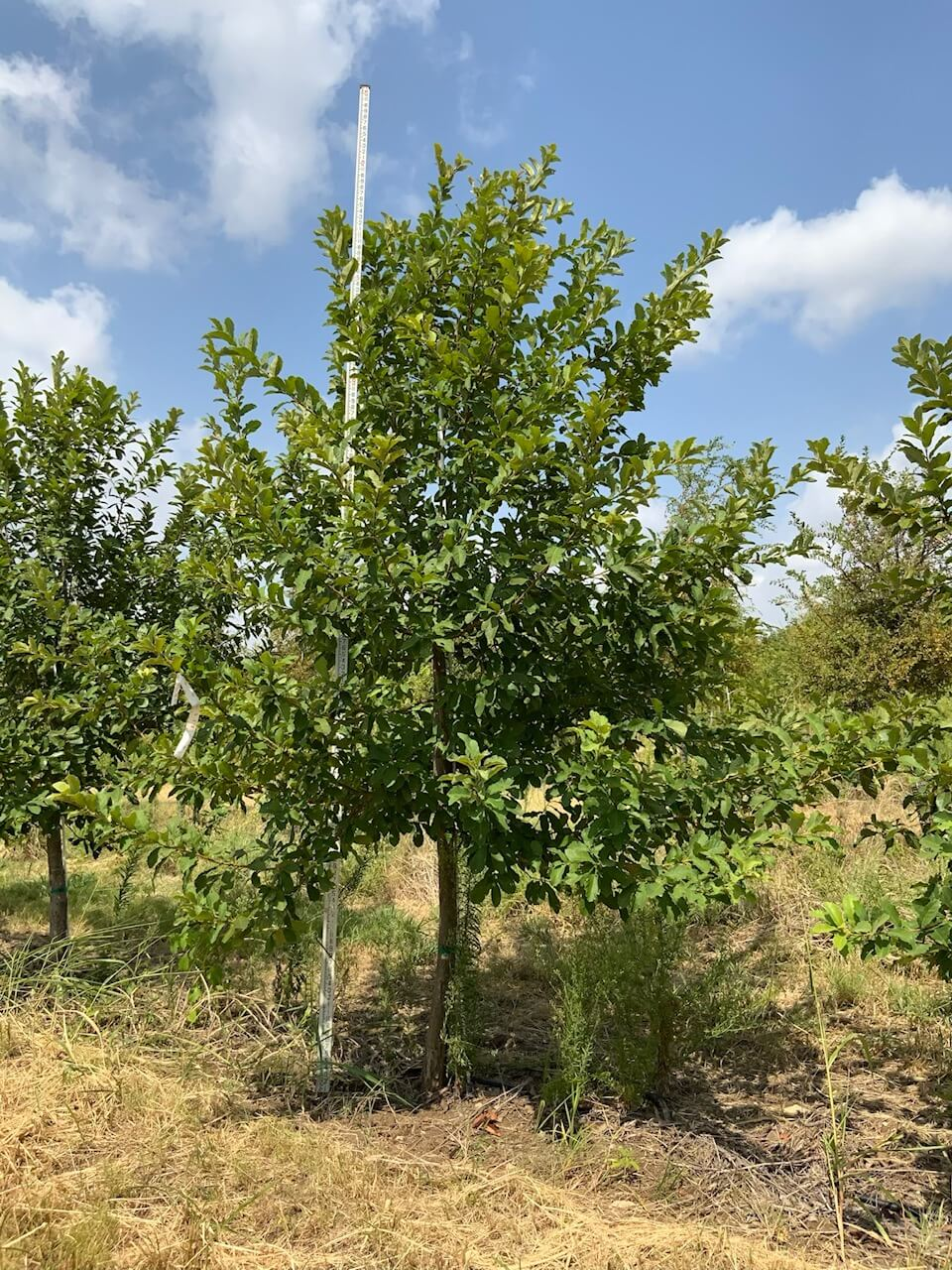 3 inch mexican white oak trees
