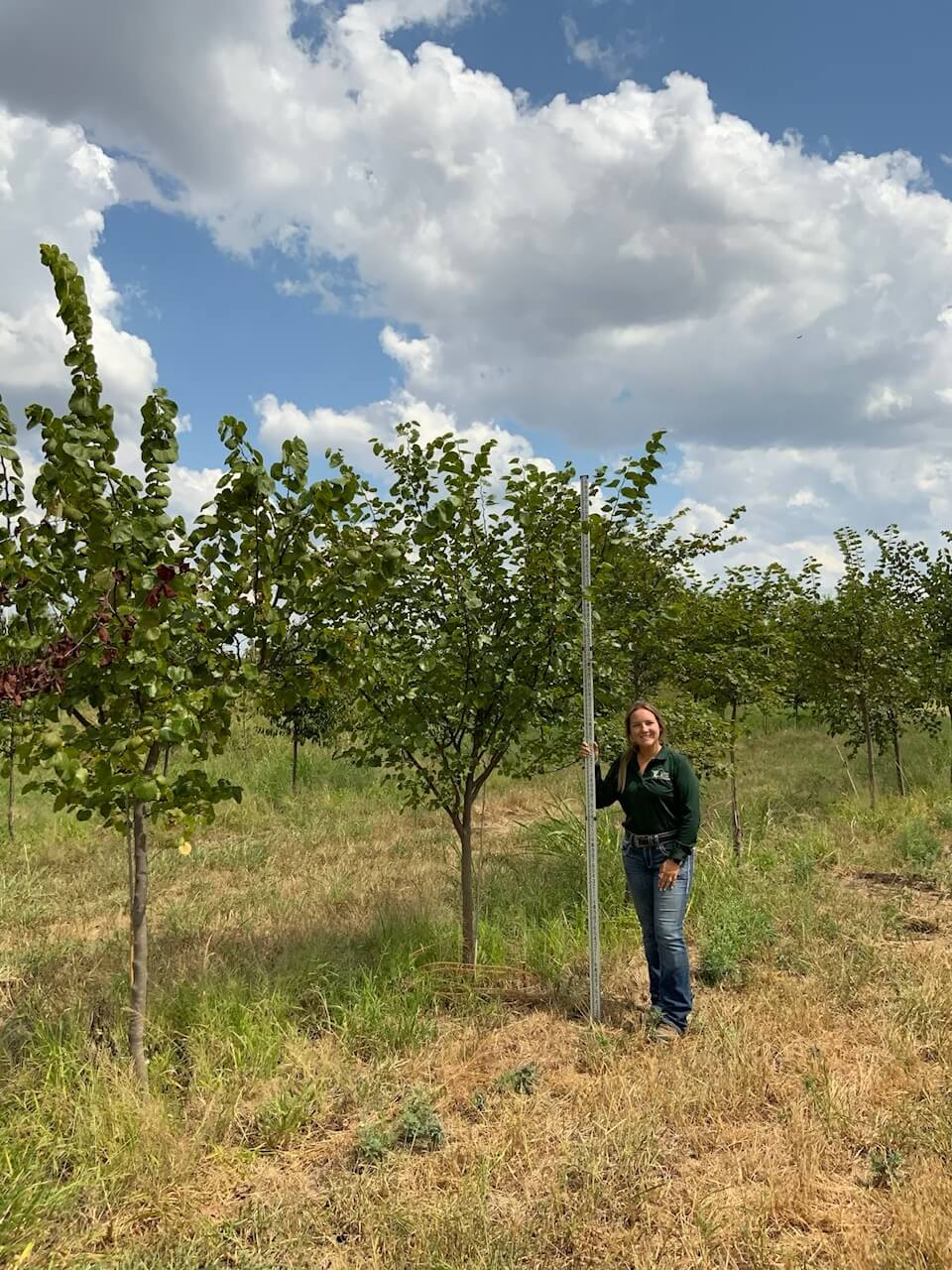 3 inch texas red bud trees
