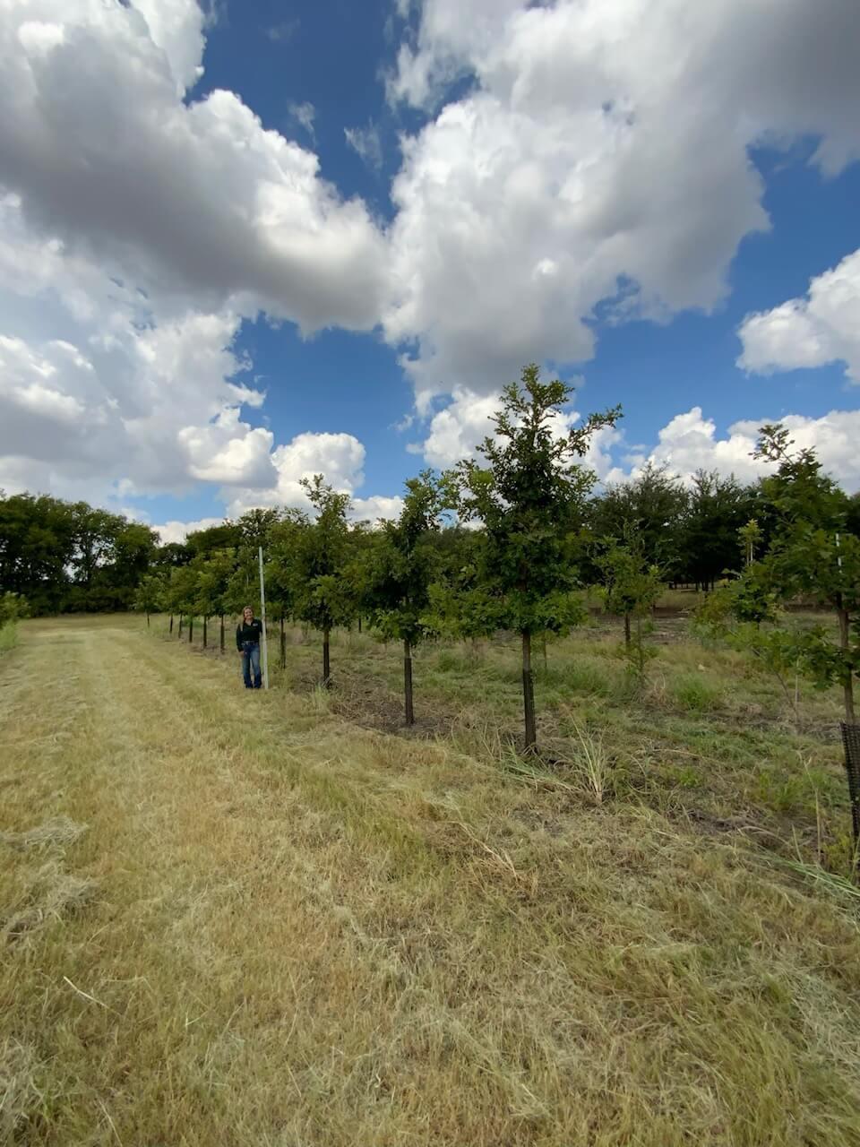 3 inch burr oak trees