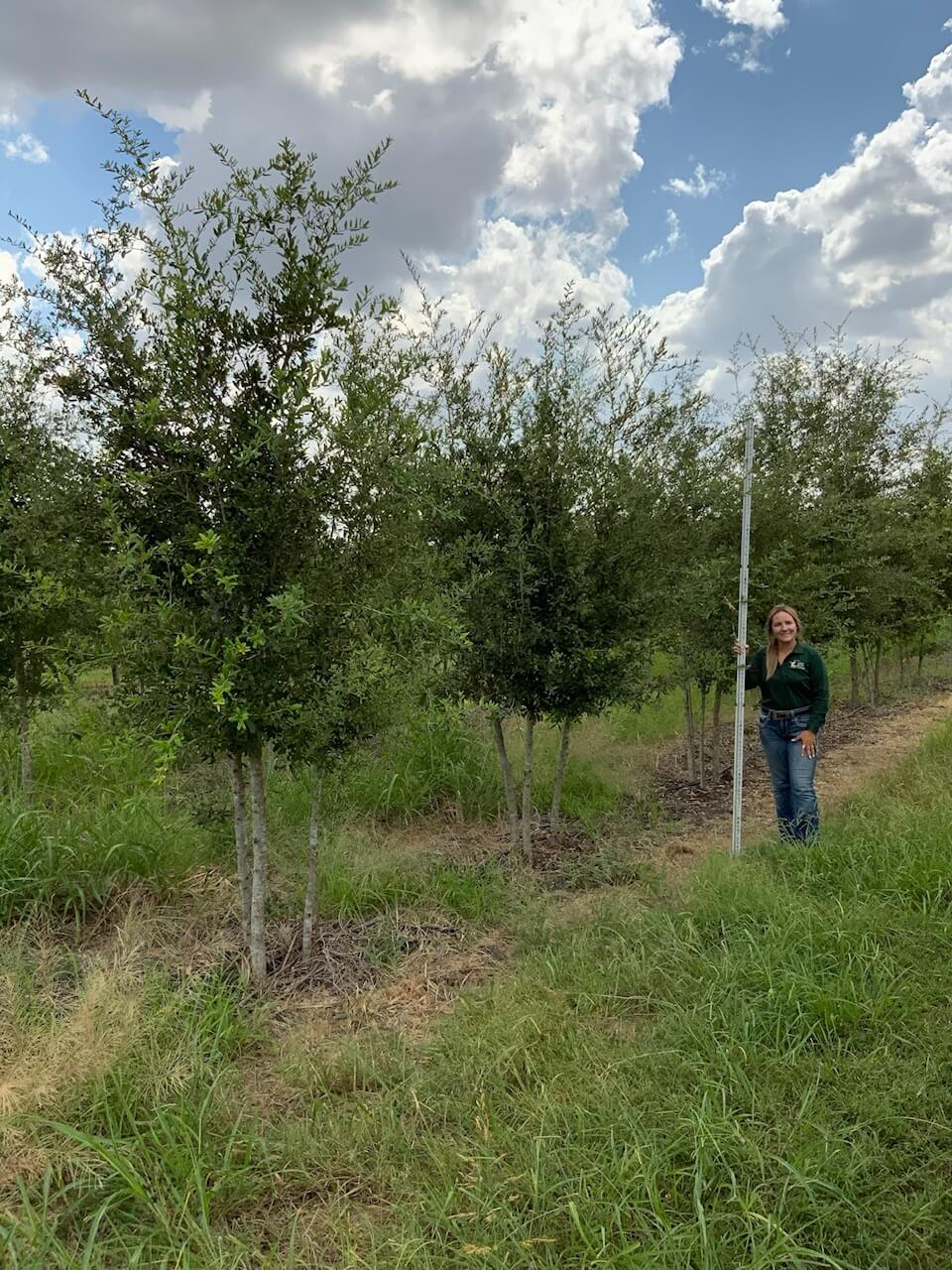 3 inch live oak trees