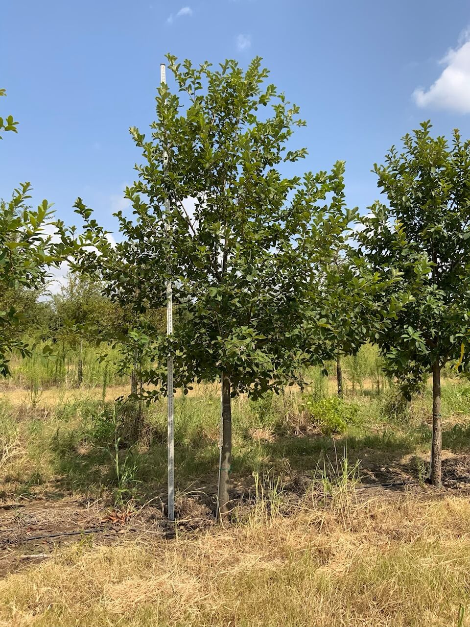 4 inch mexican white oak trees
