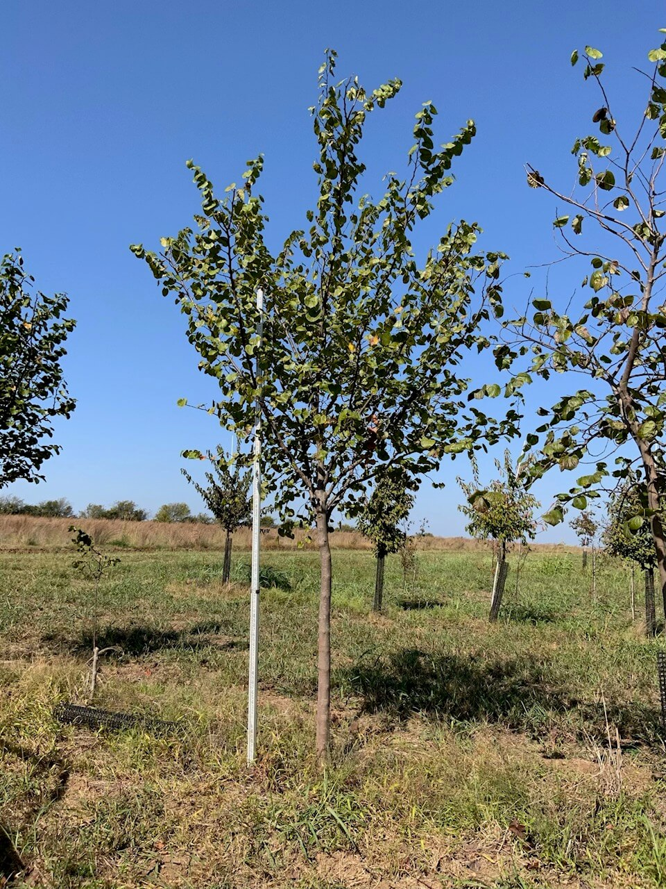 4 inch texas red bud trees