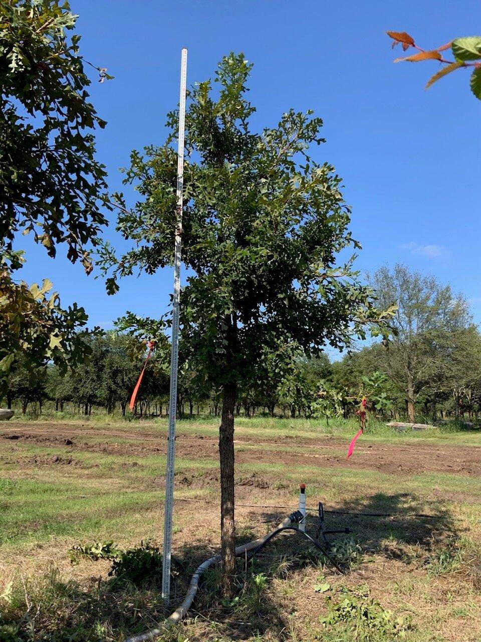 4 inch burr oak trees