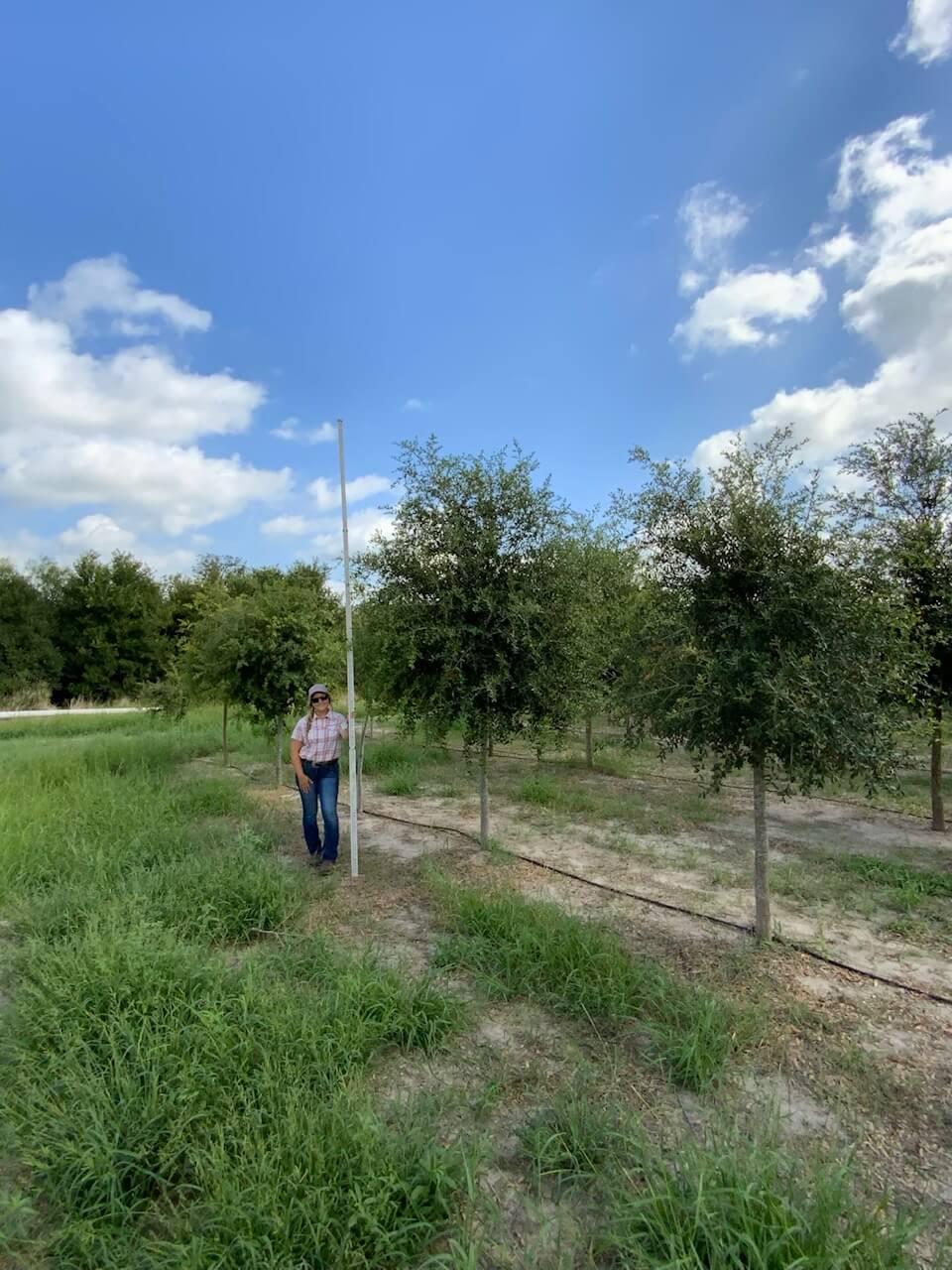4 inch live oak trees