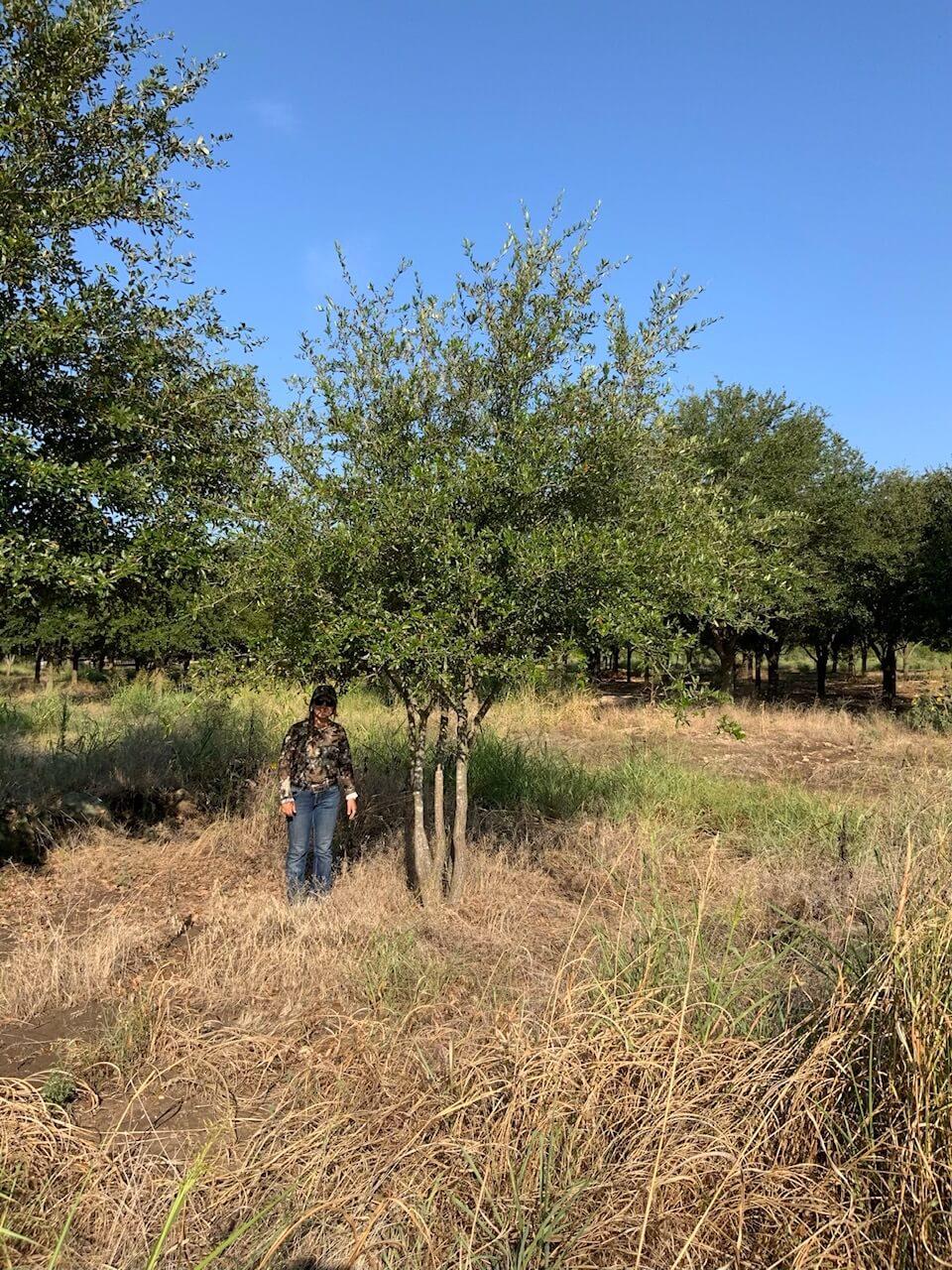 6 inch live oak trees