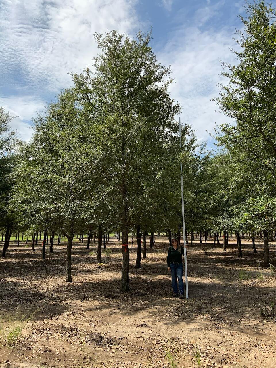 7 inch live oak trees