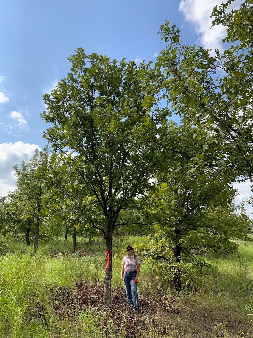 8 inch burr oak trees