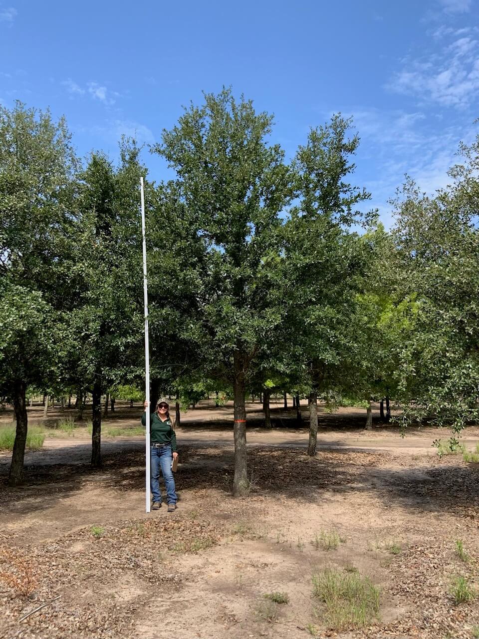 8 inch live oak trees